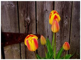 Tulips by BeckyMarie73