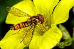 Hoverfly in November III by dalantech