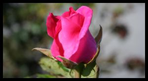 Pink Rose by dreamn3434