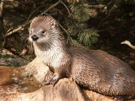 Northern River Otter 02 by animalphotos