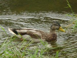 cenarthfalls3 duck1 by fierysoul