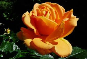 A rose for Camelia by Dieffi