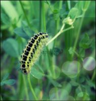 Caterpillar by Lilith1995