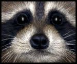 Raccoon face by starmist