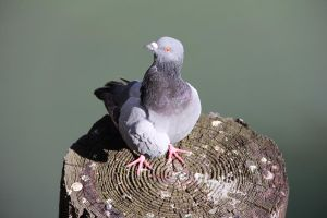 Pigeon 1 by Chocomix-Stock