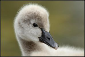 Cygnet Portrait by nitsch