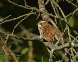 White Throated Sparrow 2012 by natureguy
