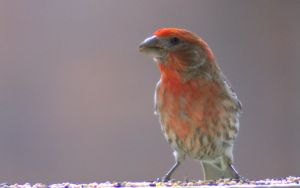 Red Headed Finch V by PamplemousseCeil