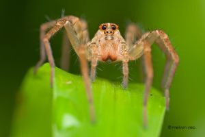 Female Wolf spider by melvynyeo