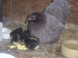Chickies! by Ross-Sanger