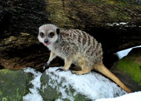 Chilly Meerkat. by quaddie