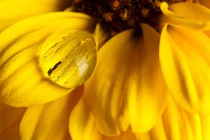 1 Drop On Yellow Flower Macro1 by AaronPlotkinPhoto
