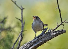 House Wren 3498 by robbobert