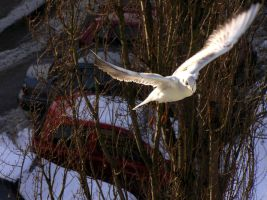 Seagull by RicSimane