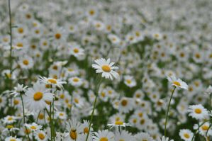 Daisies by Breezypants