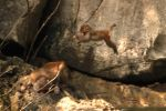 Wild monkey leaping by wildplaces