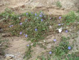 Morning Glories in a ditch by NayuSiminova