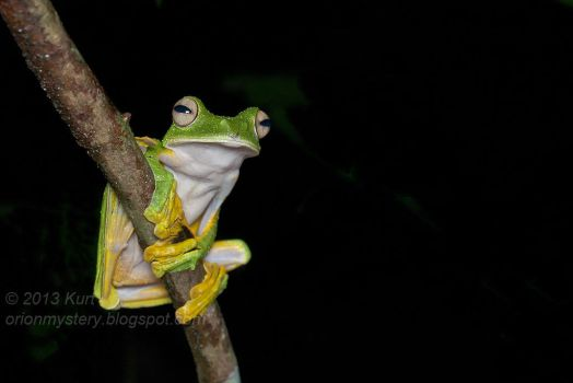 Wallace's Flying Frog (IMG 9963 copy) by orionmystery