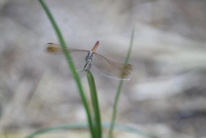 Dragonfly front on by hollygalah