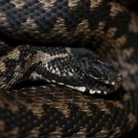 Adder IV by Mygrapefruit