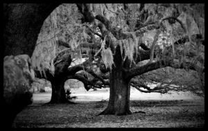 Spanish Moss by amhaley