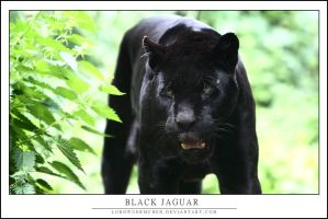 Black jaguar by AF--Photography