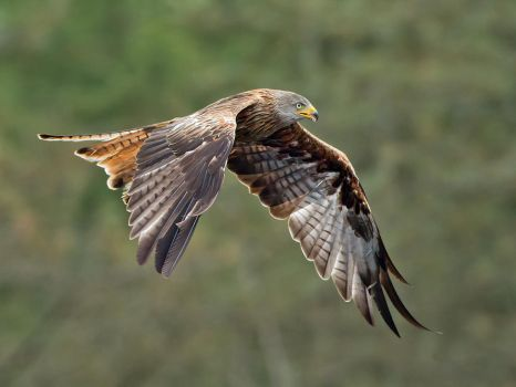 Another Red Kite by Jamie-MacArthur
