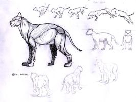 Feline anatomy by cavalars