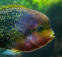Portrait of a random Cichlid (updated) by EyeOfTheKat