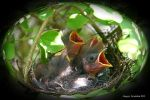 Baby Sparrows 2009 by UffdaGreg