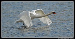 Swan Off by andy-j-s