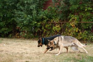 German Shepherds playing by elvaniel