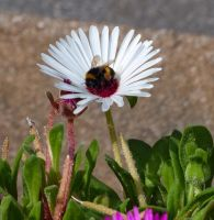 Iceplant Bee by bandsix