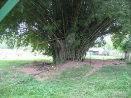 Old Bunch of Bamboo by RayMackenzie