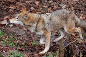 Red Wolf Stock 49 by HOTNStock
