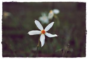 narcissus by wasilli