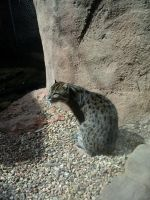Fishing Cat by TheBuggiest
