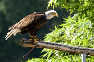 6331 - Bald eagle by Jay-Co
