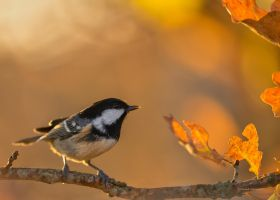 A Coal tit and evening light by roisabborrar