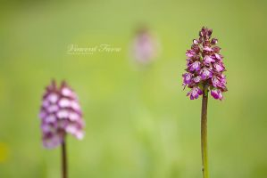 3x Orchis purpurea by vincentfavre