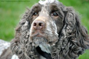 Somerset Spaniel by i4Photography