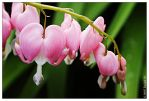 Bleeding Hearts by butterfly36rs