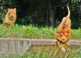 Lions by odinemb