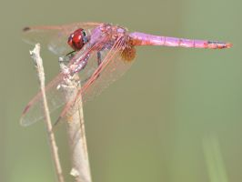 Dassia dragonfly August 2014 6 7 by melrissbrook