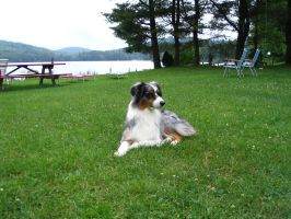 Australian Shepherd 2 by SunnyBlueDay