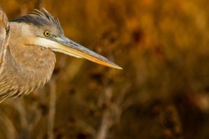 Heron Close up 2 by bovey-photo