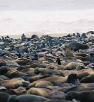 Cape cross seal colony by Serendith