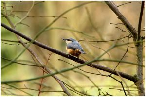 Nuthatch on A Branch by In-the-picture