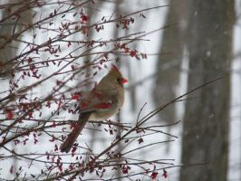 FEMALE CARDINAL by PUBLIC-DOMAIN-PICS