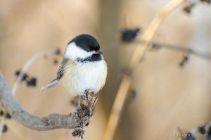 Chickadee by GuillaumGibault